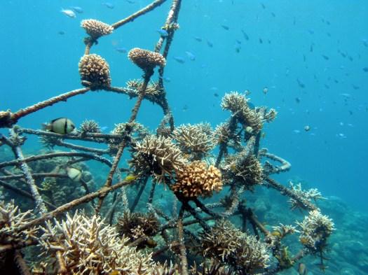 Two years' growth in coral nursery in Pemuteran, Bali.