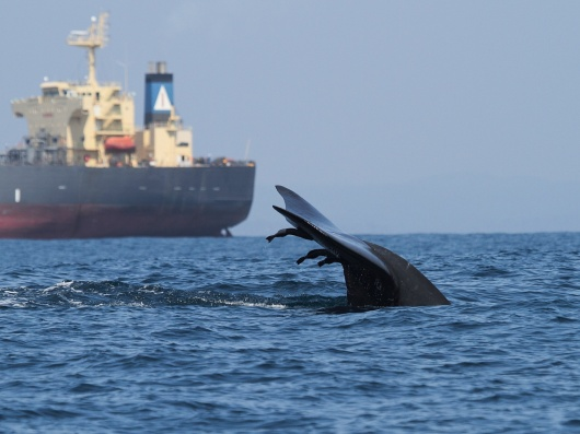 Blue whale and container ship