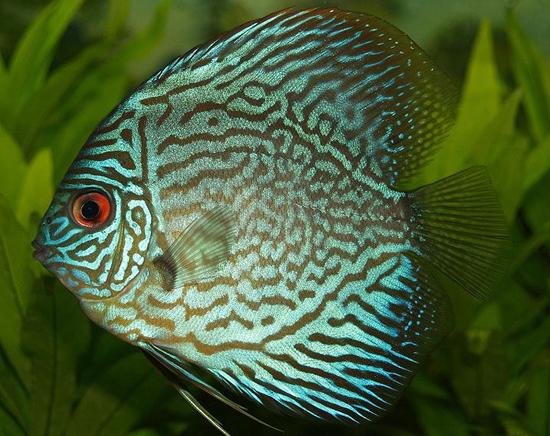 Blue-Discus-fish