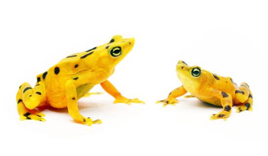 golden-frogs