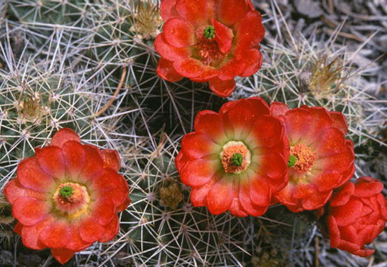 Red-flower-cactus