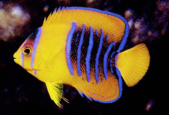 yellow-angelfish