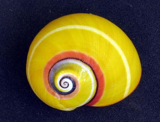 yellow-snail