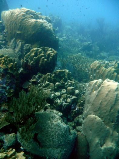 Oostpunt Curacao 2008 - Endangered Staghorn coral (Acropora cervicornis) in the bkgd - KLM