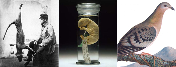 The last thylacine; a pickled thylacine pup preserved in alcohol; and the passenger pigeon.