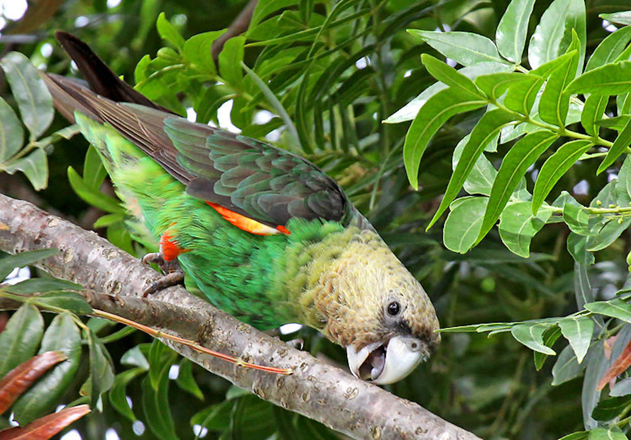 The Wild Bird Trust works to restore the population and forest habitat of South Africa's endemic and endangered Cape parrot. Photo: Wild Bird Trust