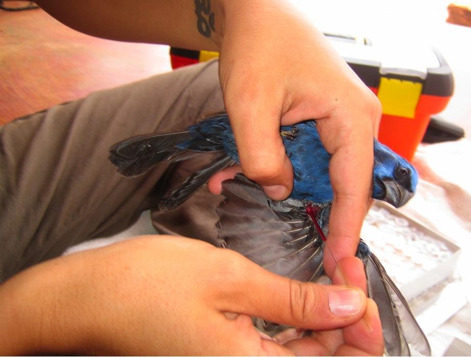 Ferreira takes a blood sample from an ultramarine grossbeak in Bahia, Brazil. Photo: Erica Pacifico