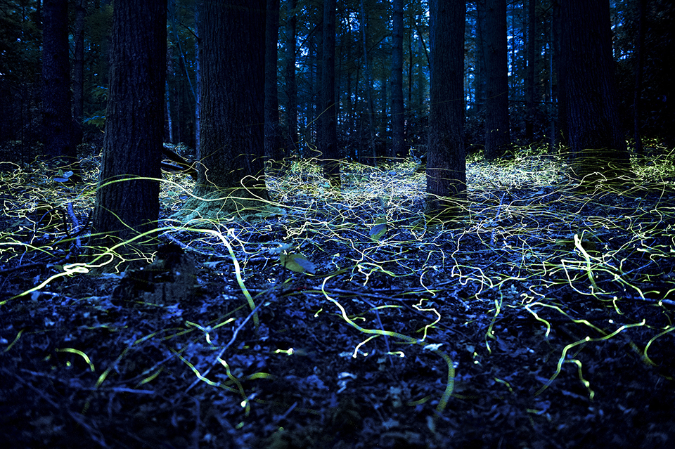 Fireflies in a forest. Photo: Spencer Black/BlackVisual.com