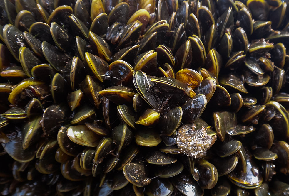 Close-up of the invasive golden mussel, which proliferates quickly and densely, clogging up power plants, waterworks and destroying ecosystems. Photo: Marcela Uliano da Silva