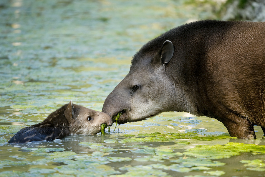 You don't want to come between a tapir baby and its mother -- the normally docile animals become fierce when offspring are threatened. Photo: Daniel Zupanc
