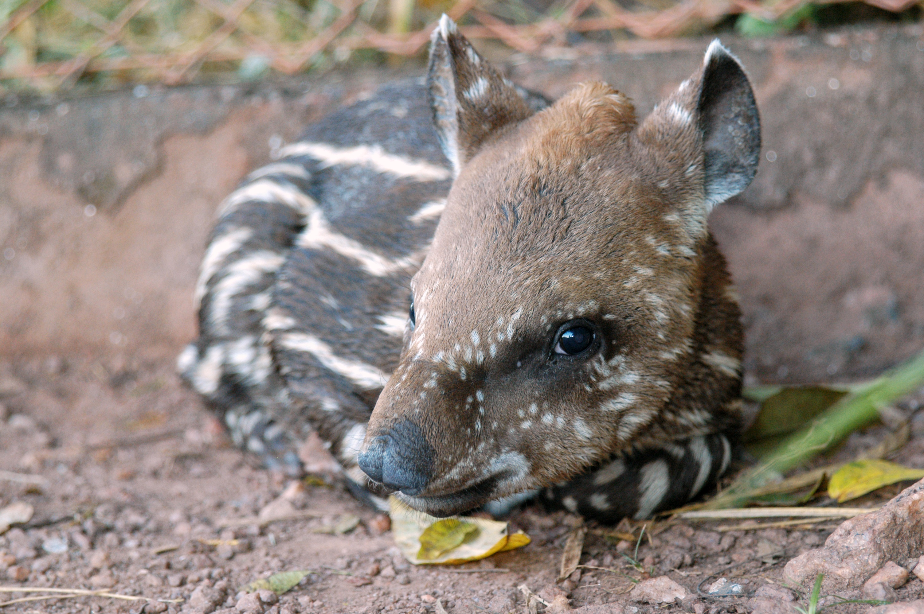 Baby tapirs' stripes and spots make them resemble a watermelon. Sadly, they lose these markings as they mature. Photo: LIana John