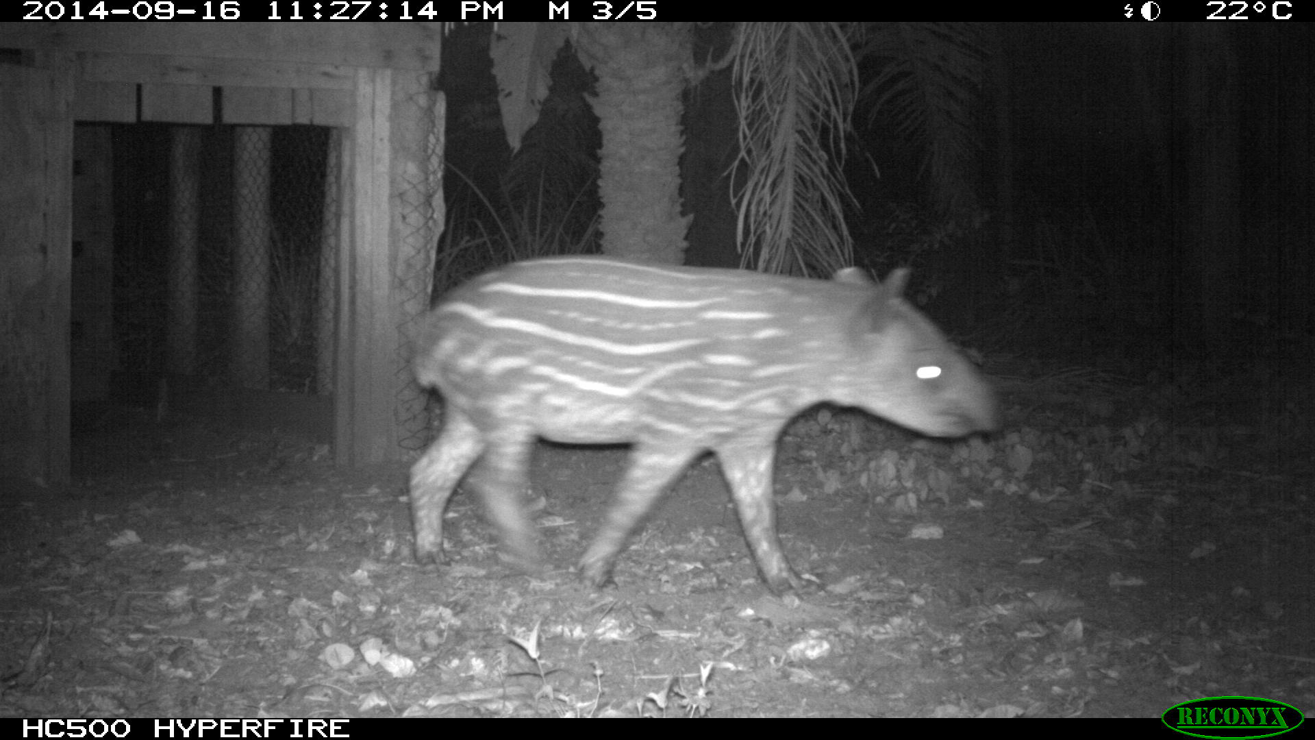 A camera-trap shot of a new addition to Medici's tapir family: baby TED. Photo: Patricia Medici