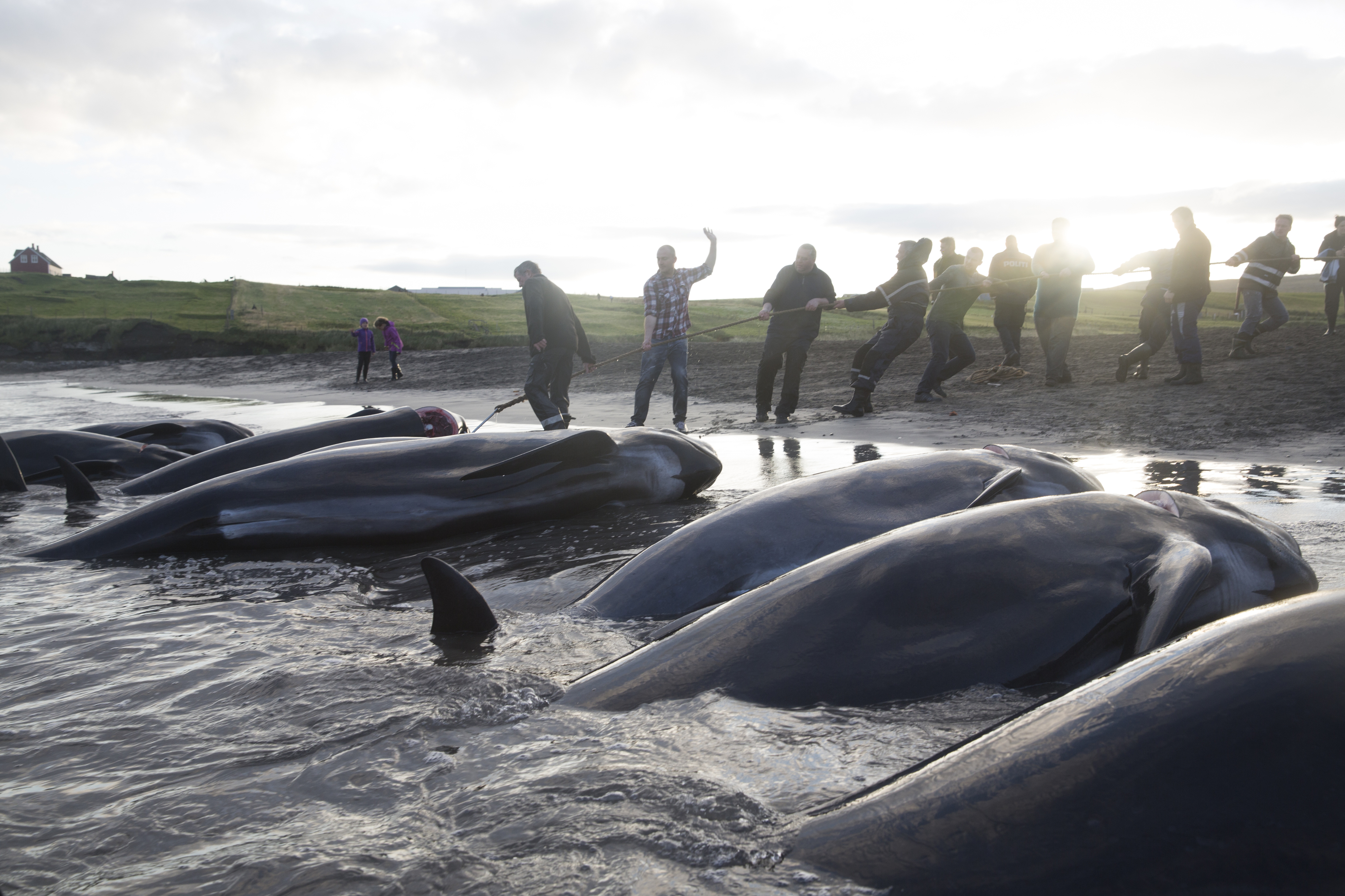 Men drag dead pilot whales onto the beach during a hunt in Sandur, Faroe Islands on Aug. 30, 2014. The tradition has endured for nearly 1,000 years. The grind usually occurs in the summer, but there is no set date, or even a set season. A grind can happen at any minute. When a pod is spotted, everyone drops what they're doing to participate in the hunt. The hunt has always been non-commercial, the meat is shared among the community. Photo: Ed Ou. Reportage: Getty Images