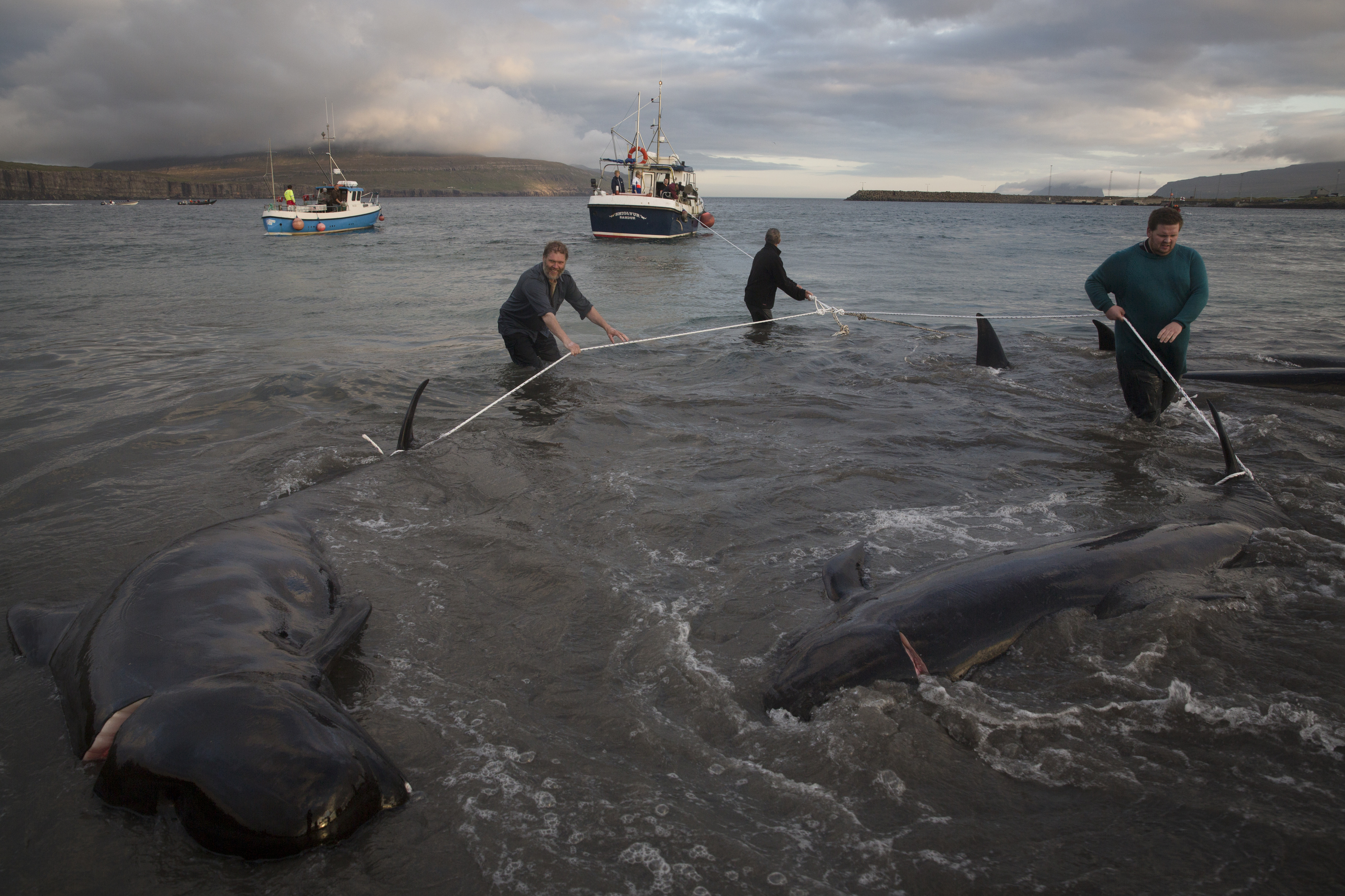 Men drag dead pilot whales onto the beach during a hunt in Sandur, Faroe Islands on August 30, 2014. Photo: Ed Ou Reportage: Getty Images