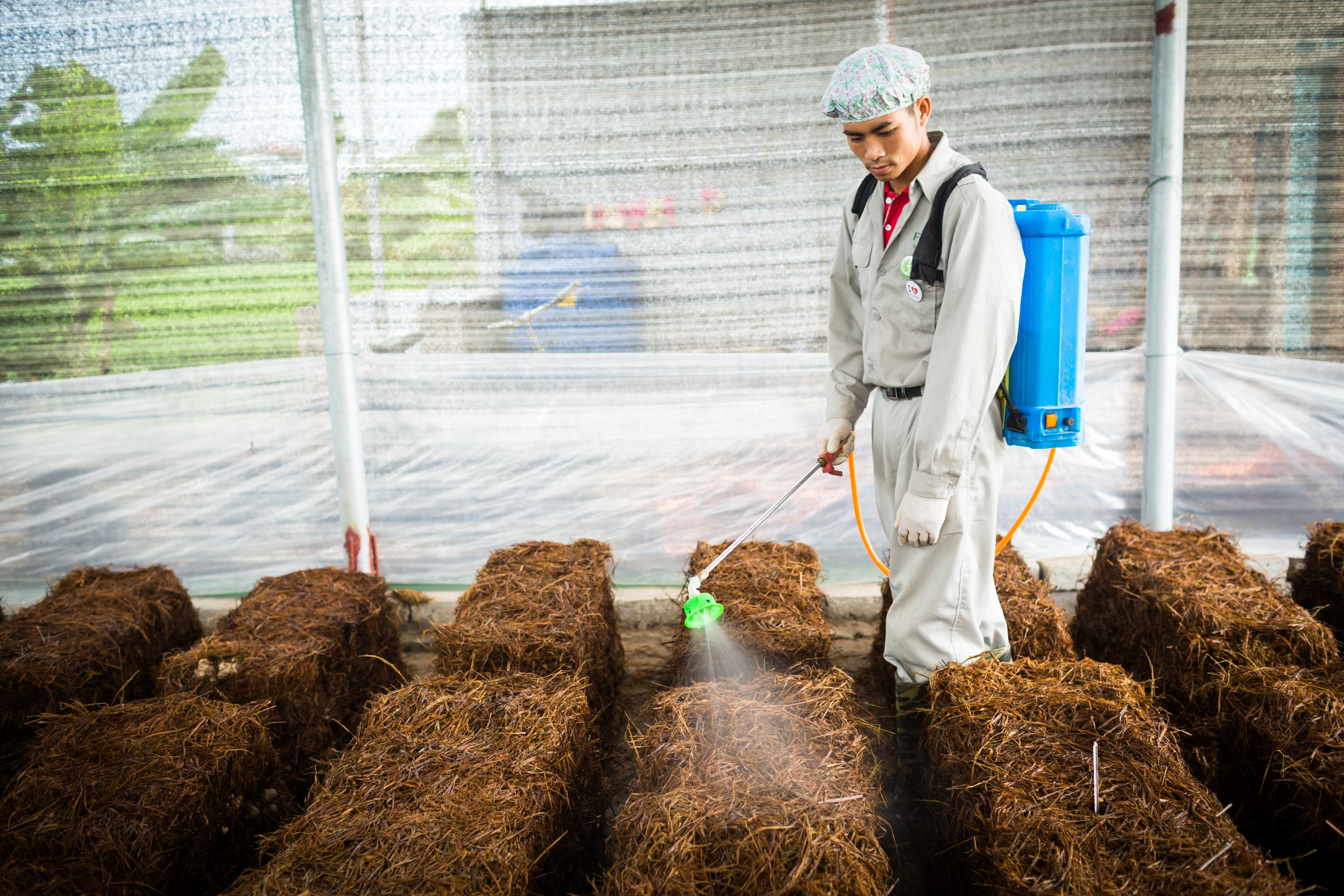 Bales of recycled rice straw are prepared for cultivating mushrooms. Photo: Fargreen