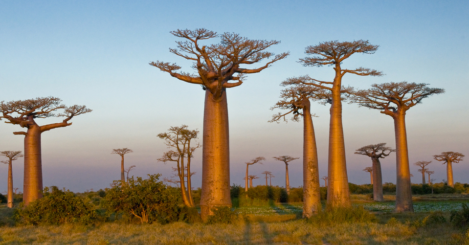 In her TED Talk, Ameenah Gurib-Fakim introduced us to the baobab tree, just one of the incredible species that grows in the biodiversity hotspot of Mauritius. She says that protecting the environment will be a priority in her presidency. Photo: Courtesy of Ameenah Gurib-Fakim