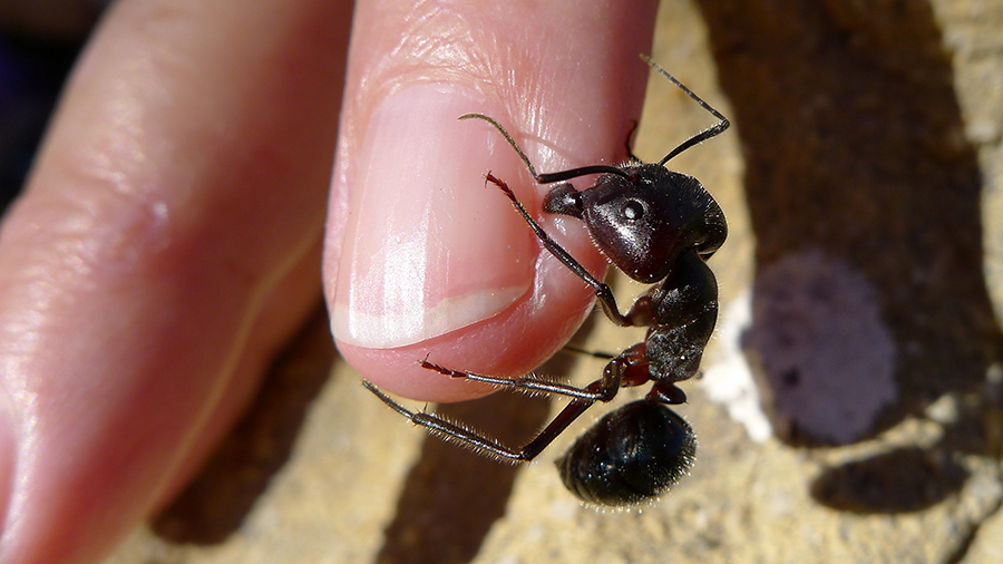 A biting ant photographed in Western Australia, May 2012. Image: Flickr