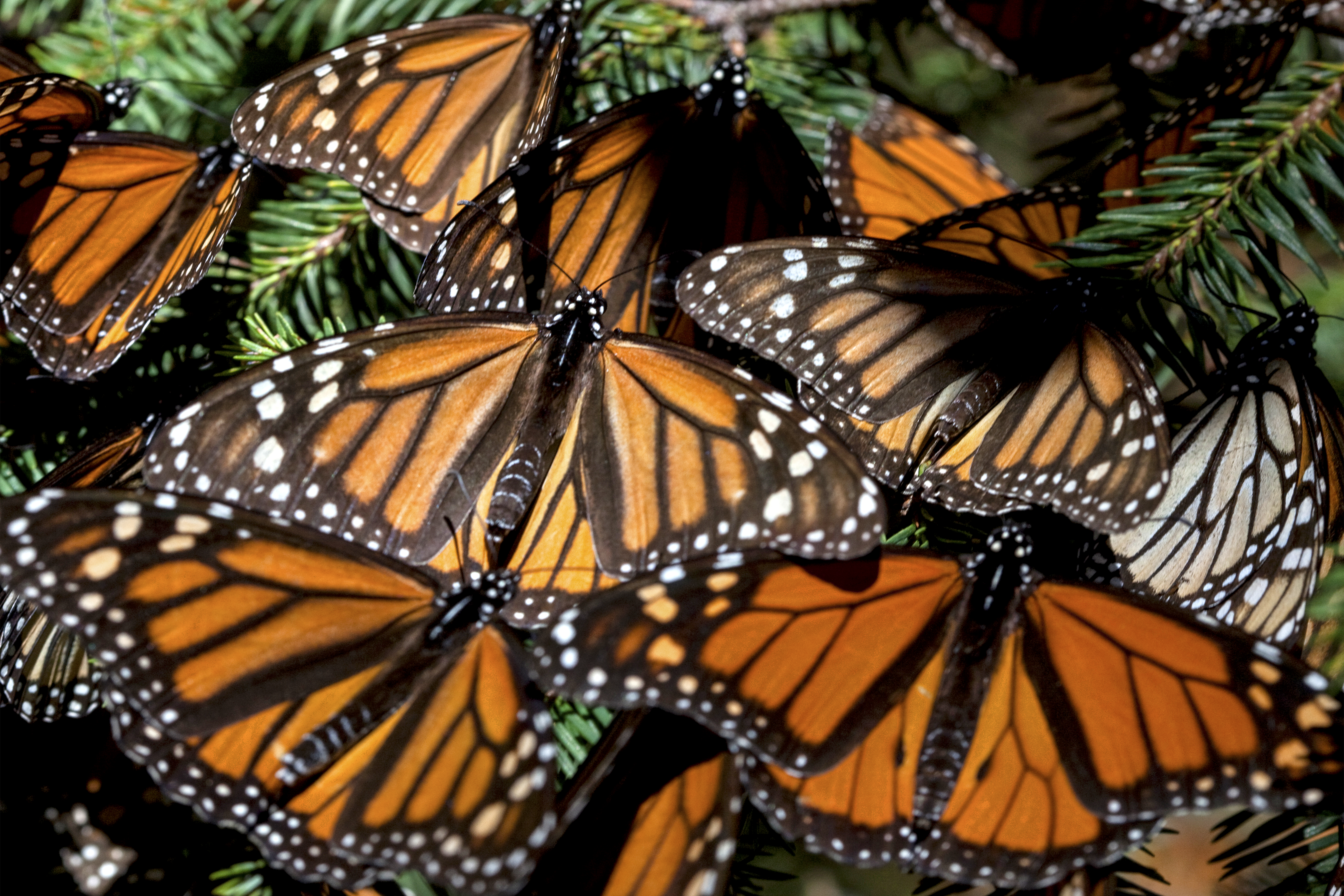 5_Monarch butterflies-2