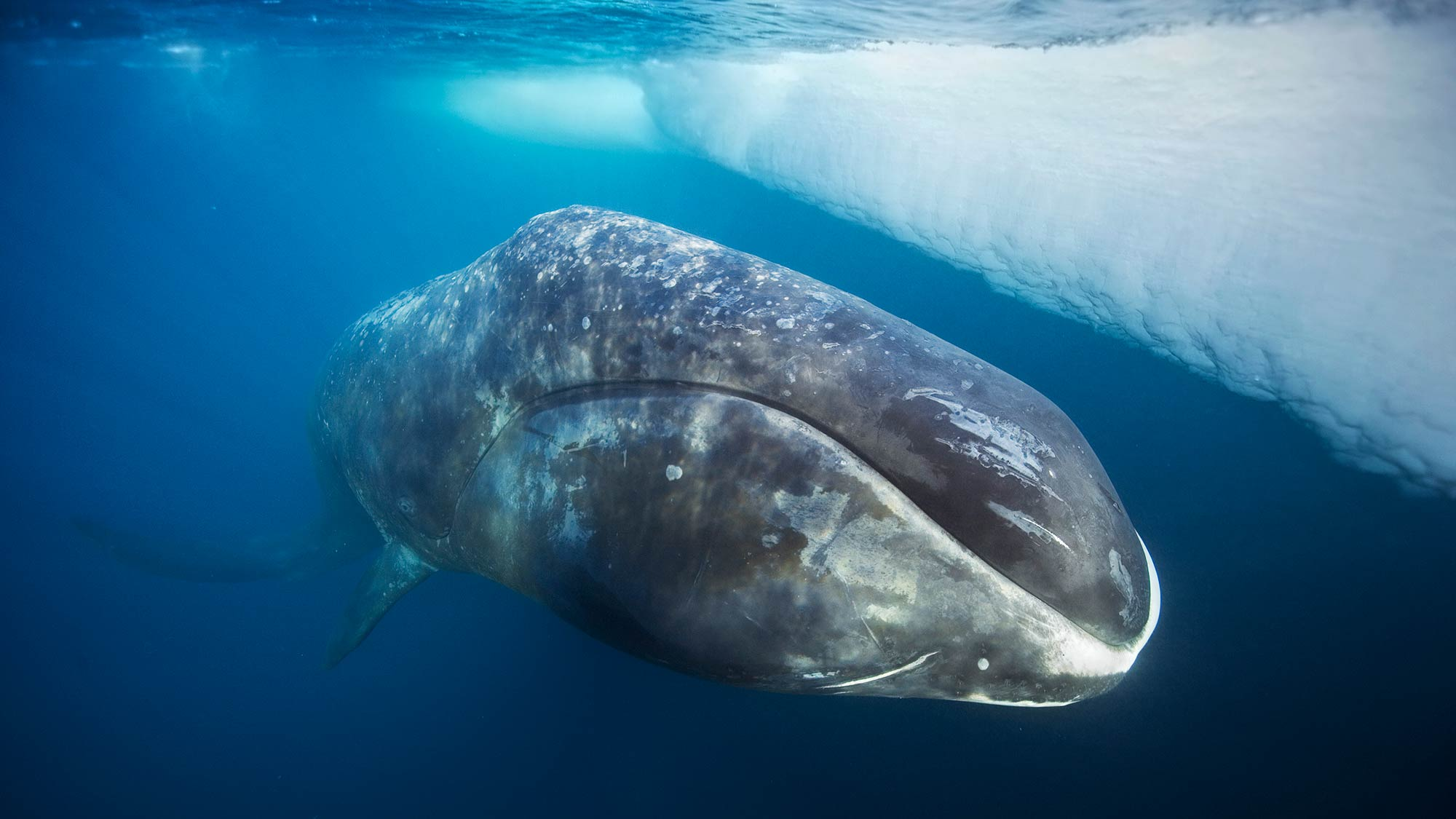 After feeding, a bowhead whale comes to the surface to rest. Lancaster Sound, Northwest Territories, Canada. Photo: Paul Nicklen/Getty Images