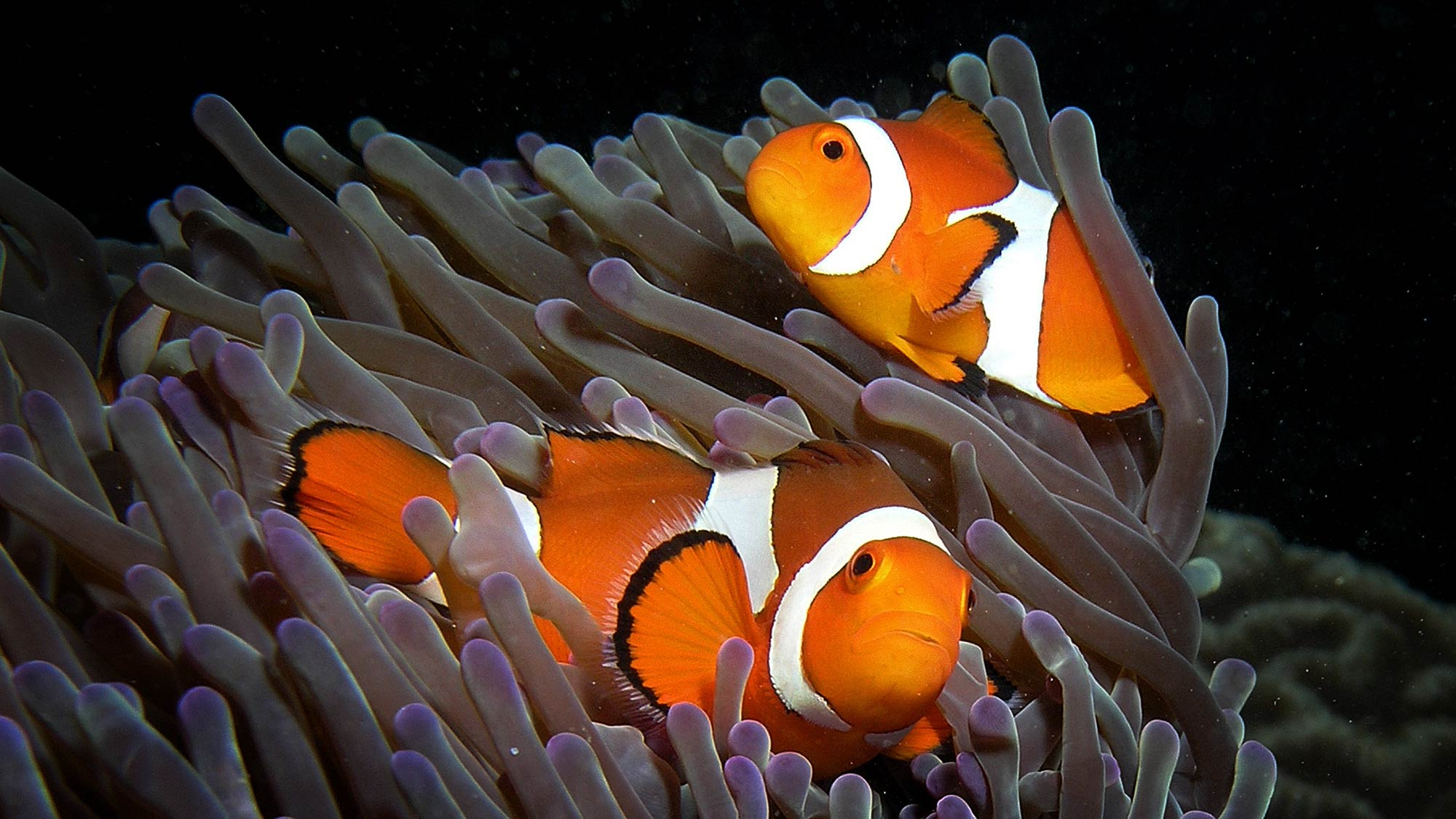 Anemone purple anemonefish CC BY-SA 3.0 Photo: Nick Hobgood/Wikipedia. Purple anemone (Heteractis magnifica) and resident anemonefish (Amphiprion ocellaris) (clownfish) in East Timor. http://en.wikipedia.org/wiki/Ocellaris_clownfish#mediaviewer/File:Anemone_purple_anemonefish.jpg