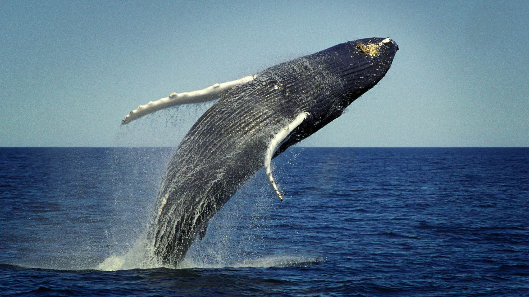 A Hump Back Whale breaching off the coast of Maine. Photo: iStock. iStock_000009634005_Large