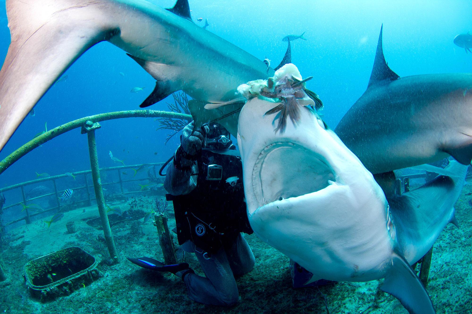 "Joi Ito feeding Carribean reef sharks. Photo by <a href=""https://www.flickr.com/photos/joi/5594869804/"">Sebastien Filion/Stuart Cove's</a>."