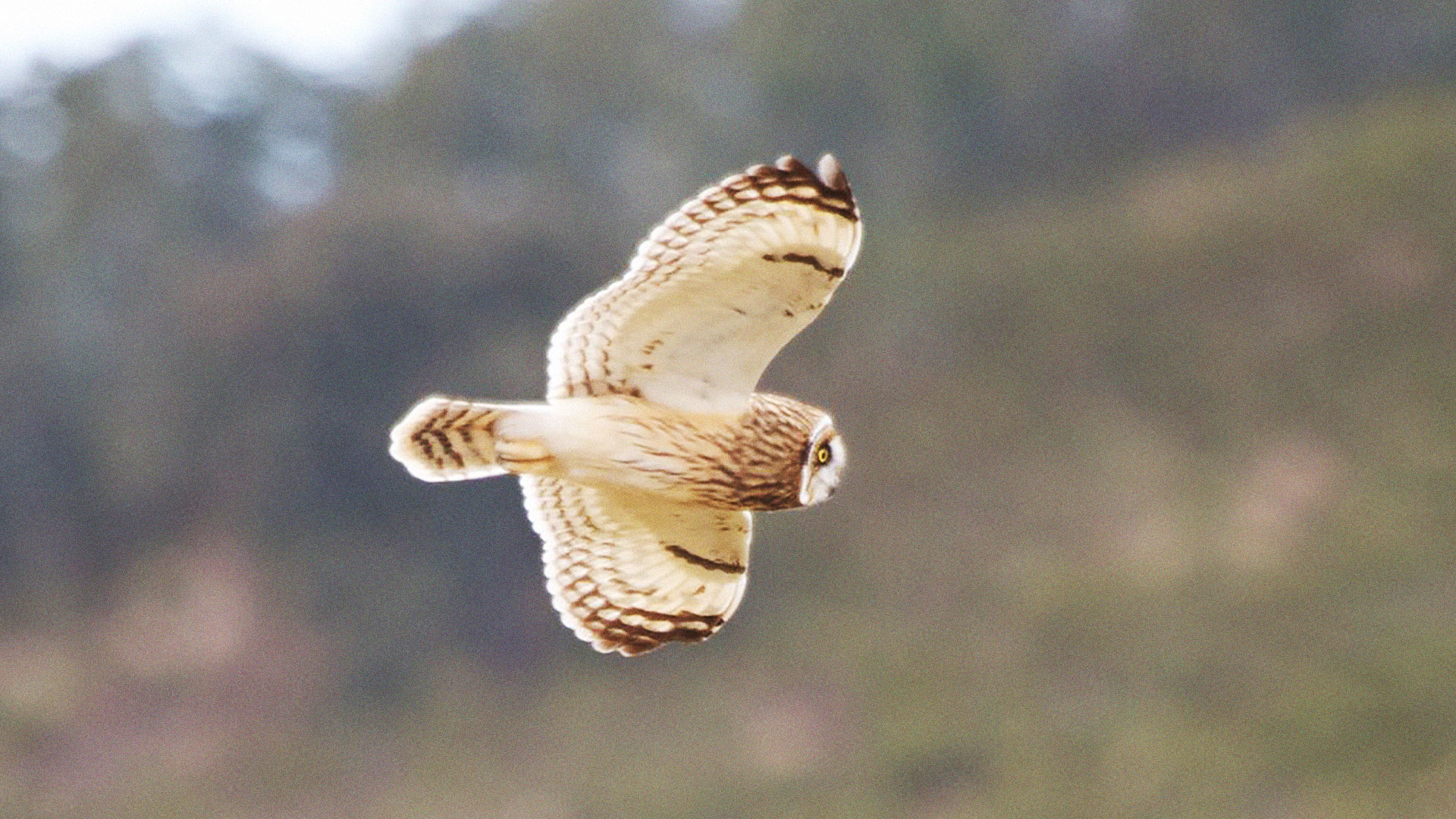 A Short-eared Owl in Hawaii. This subspecies is known as the Pueo or Hawaiian Owl. Photo by HarmonyonPlanetEarth/Wikimedia. http://commons.wikimedia.org/wiki/File:Asio_flammeus_-Hawaii_-flying-8.jpg