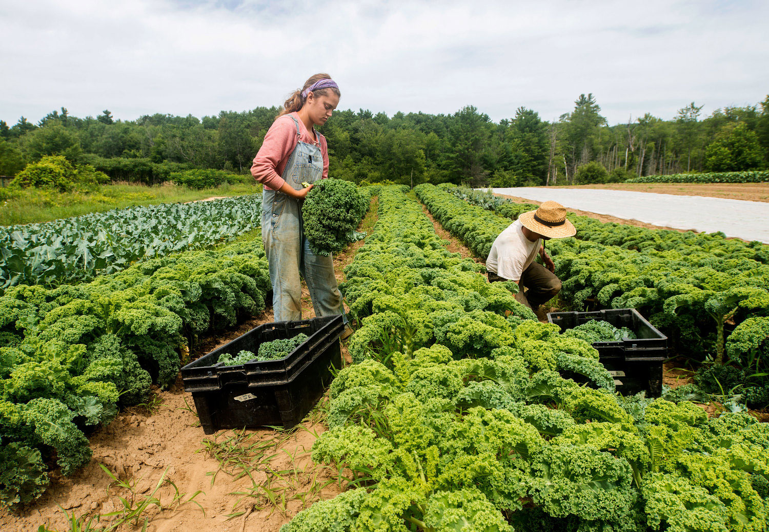 Farm employees harvest kale at Juniper Hill Farms. Photo by Richard Quirk.
