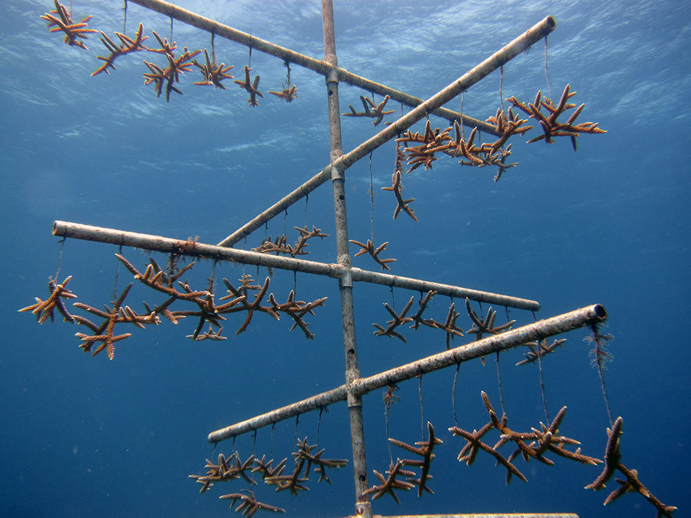 The NOAA uses coral nurseries to help corals recover after traumatic events, such as a ship grounding. Hung on a tree structure, the staghorn coral shown here will have a better chance of surviving and being transplanted back onto a reef. Photo by the NOAA National Ocean Service.