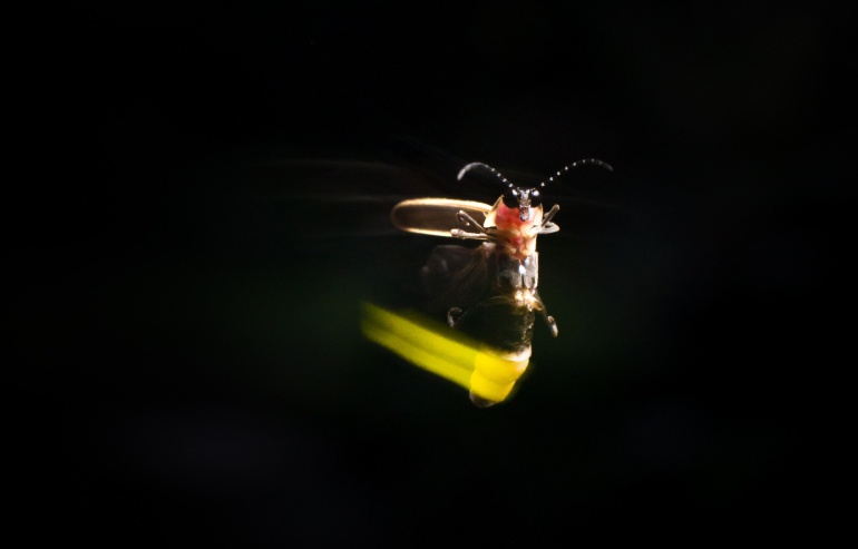 A male lightningbug firefly uses quick, bright flashes to court females. Photo by Alex Wild.